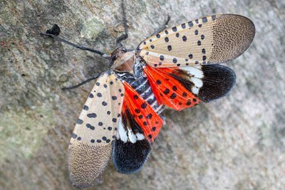 Spotted Lanternfly Free Live Q&A Session